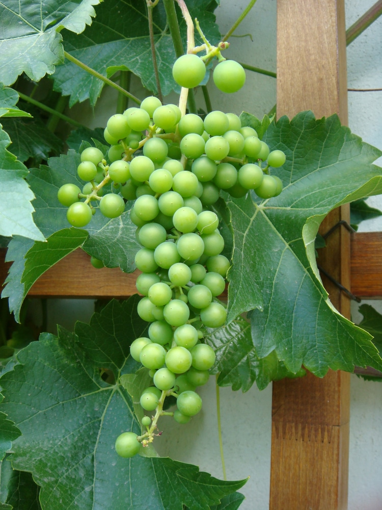 What Do Grapes Grow On Top Tips Facts