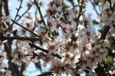 when-do-plum-trees-bloom