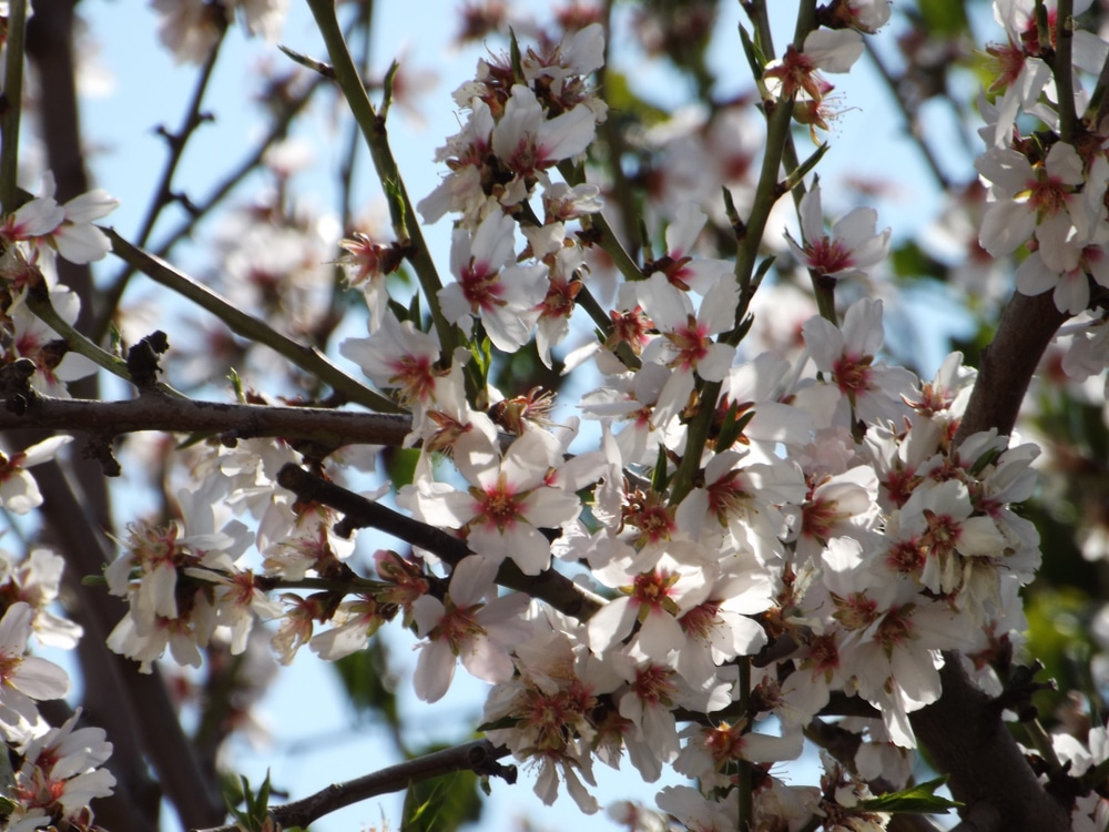 When Do Plum Trees Bloom Top Facts