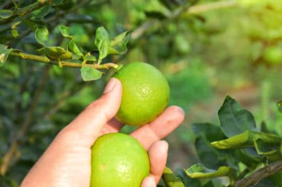 when-to-pick-limes