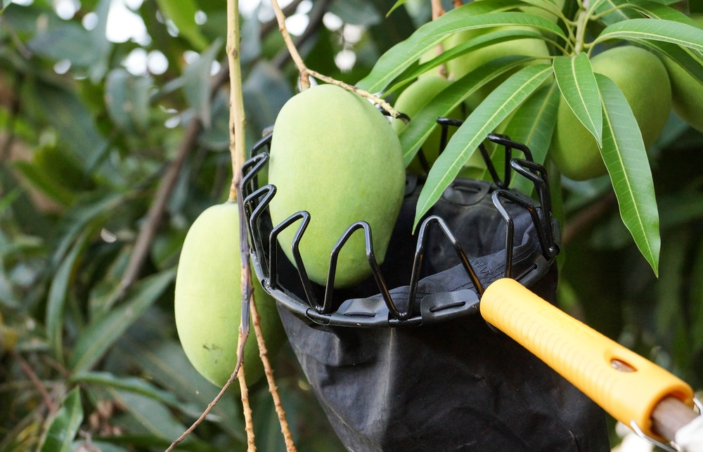 Mango öffnen