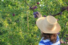 when-to-pick-plums