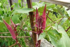 when-to-plant-okra
