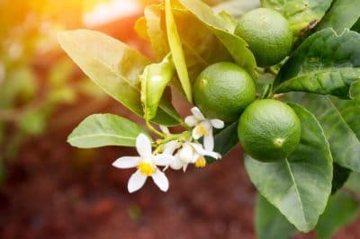 where-do-limes-grow