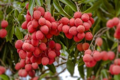where-do-lychees-grow