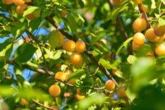 where-do-plums-grow