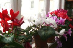 cyclamen-flower
