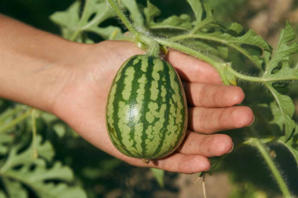 How Long For Watermelons To Grow Top