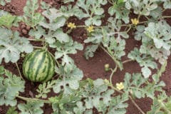 how-to-grow-watermelon