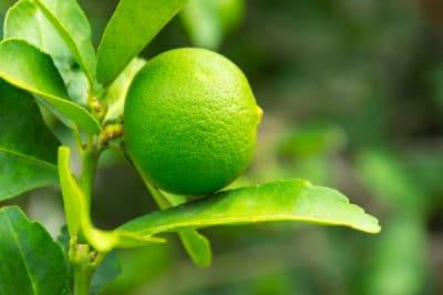 lime-tree-leaves