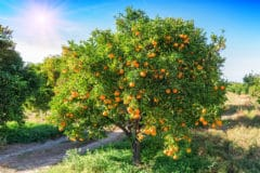 orange-tree-fertilizer