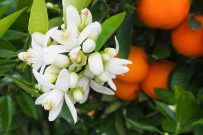 orange-tree-flowers