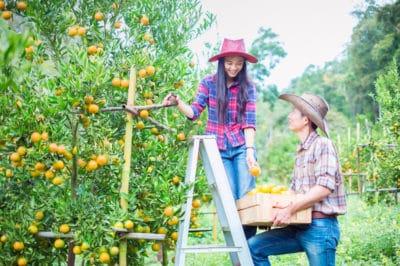 picking-oranges