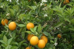 what-do-oranges-grow-on