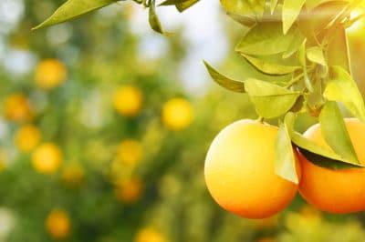 when-is-orange-season-in-florida