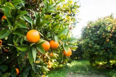 where-do-oranges-grow