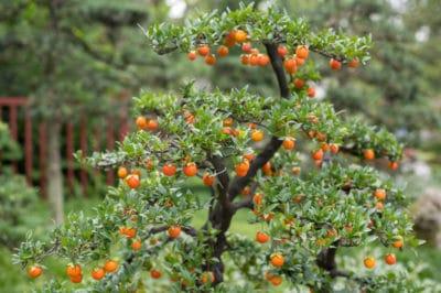 bonsai-orange-tree