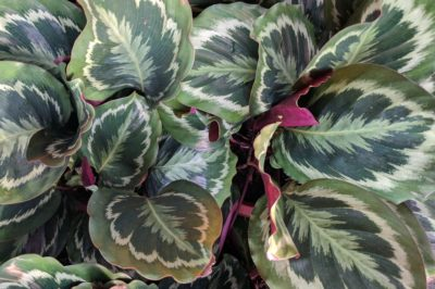 calathea-plant-problems