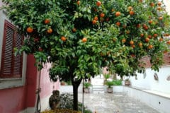 do-oranges-grow-on-trees