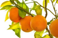 how-do-oranges-grow