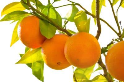 how-do-oranges-grow