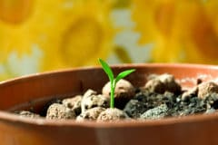 how-to-germinate-lemon-seeds