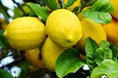 how-to-grow-a-lemon-tree
