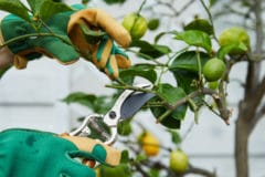 how-to-prune-a-lemon-tree