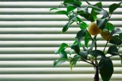 indoor-lemon-tree