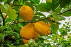 lemon-tree-care