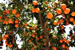 orange-tree-care