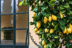 potted-lemon-tree