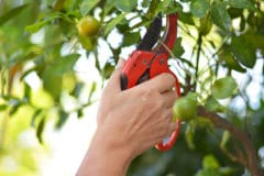 pruning-orange-trees