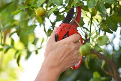 pruning-orange-trees