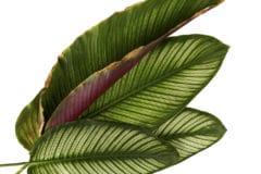 calathea-plant-leaves-curling