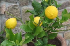 dwarf-lemon-tree-care