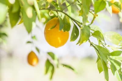 growing-meyer-lemon