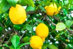 how-long-does-it-take-to-grow-a-lemon-tree