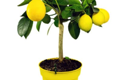 lemon-bonsai