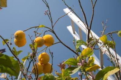 lemon-tree-losing-leaves