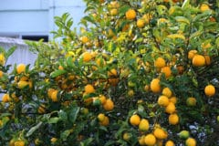 meyer-lemon-tree-care