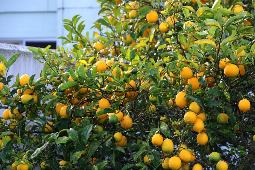Meyer Lemon Tree Care Instructions Garden Eco