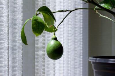 meyer-lemon-tree-indoor
