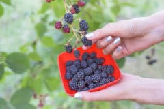 when-do-blackberries-ripen