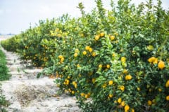 where-do-lemons-grow-2