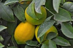 where-do-lemons-grow