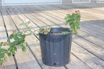 growing-blackberries-in-containers