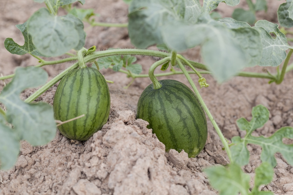 How Many Watermelons Per Plant Top Thinning Tips