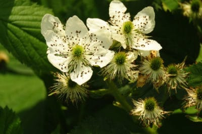 when-do-blackberries-bloom