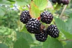 blackberry-plant-care